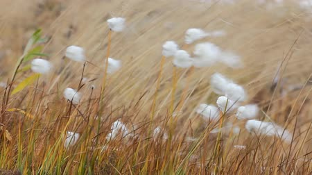 chmýří : Like a blade of grass in the wind. Meadow grass and cotton-grass flowers shaking in strong wind, herbage.