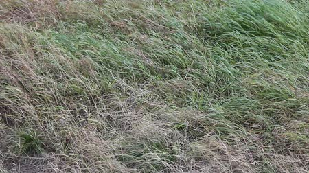 soletrar : Spring. Green grass sprouts through  dry last years grass. wind rustles grass