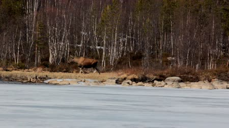 finlandiya : Early spring. Moose is on shore of frozen lake more. Hoofed animal eats dry last year grass Stok Video