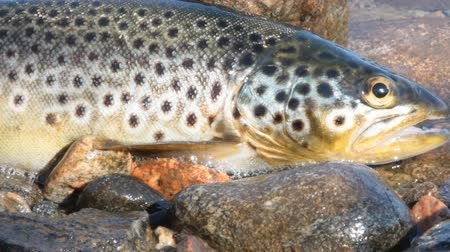 truta : Coveted trophy of every fisherman. Salmon (brook trout) caught spinning and lying in river surf