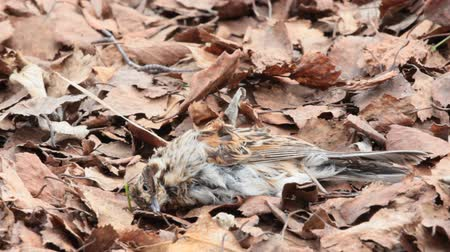 fatality : Autumnal Sad death. Dry dead little bird lying among dry leaves Stock Footage