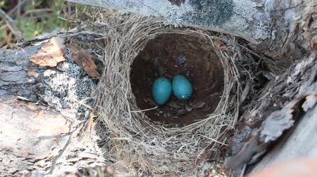 egg laying : Spring is in full swing. Birds lay eggs. Nest of song thrush on pine Stock Footage