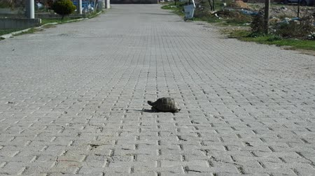 мощеный : Greek turtle (Testudo graeca) on sidewalk. Turtles settled in Turkish city