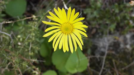 nanny : Yellow flower like child sun. Perhaps Ragwort. Turkey, Marmaris