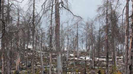 lifeless : Virgin pine forest 11 years after creeping fire (dead wood). Lapland. Forest fires as natural disaster and violation to be careful when dealing with fire Stock Footage