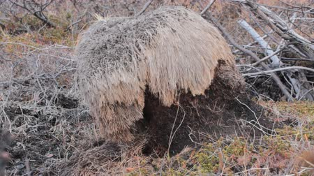after fire : Perennial tussock of sedge after fire and cutting with voles