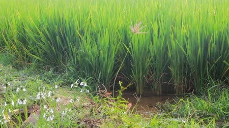 main : rice on plantation in close-up. Powerful green sprouts until stem, trickle irrigation canal