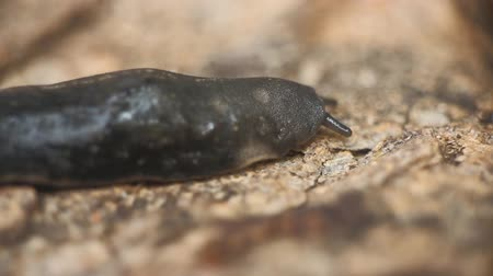 brute : Smooth walking snakes and snails (slug) Large black slug with length of 14 cm and wood ants. India, Bangalore Stock Footage