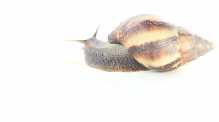 bangalore : Giant land snail (agate shell, Achatina) in India, Bangalore. Crawling on white background. Edible clam, mollusc pests. Isolated on white videos