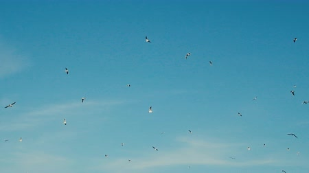 altocumulus : A lot of gulls circling in sky. Black-headed gull