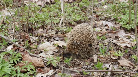 europaeus : Forest Hedgehog rolled into ball. Defending hedgehog puffing (so called urchin) and pounding, pricks needles at that moment. Timelapse