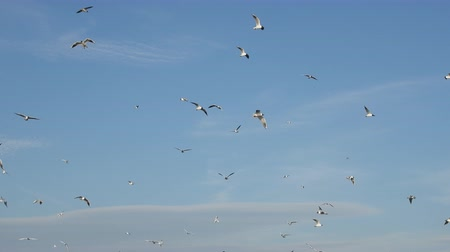 corrugated : A lot of gulls circling in sky. Black-headed g