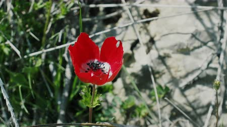 orientale : Wild poppy (Papaver rhoeas) in the Mediterranean, Turkey, maquis