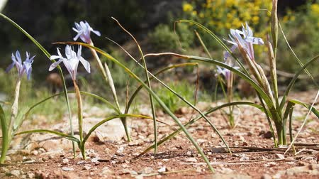 flower buds : Poor wild blue irises on hillside to sea, april. Mediterranean, Turkey