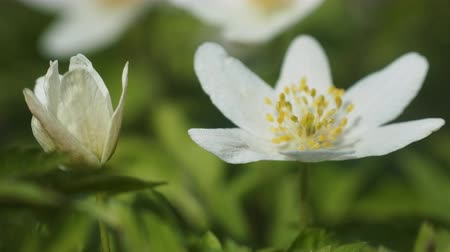 virgin forest : Delicate anemone, Anemone nemorosa, with pristine white petals (attribute of Virgin Mary) is flower beginning of spring warmth, close-up