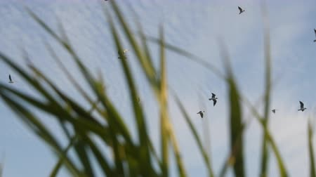 ridibundus : Summer by sea. Seaside grass and seagulls in blue sky. Shooting through mesh of grass Stock Footage