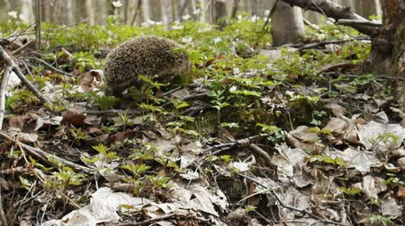 еж : Awakening from hibernation. Wild hedgehog wandering through spring woods in search for insects first