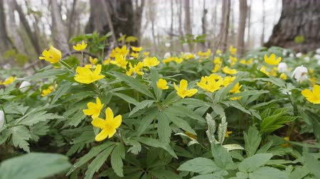 woodland : Spring. Anemone yellow (Anemone ranunculoides) bed in oak-wood (broadleaved woodland), low camera position