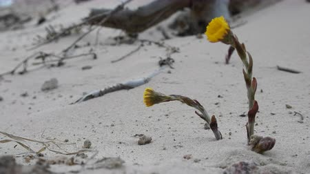 floweret : Unpretentious flowers foalfoot (coltsfoot, Tussilago farfara). Flowers primroses (early flowering) of aeolian sand, beginning of spring