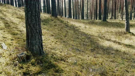dene : Walk on sunny tall pine forest (high forest stemwood) on old dunes. Woodland in Finland