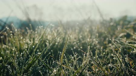 dewy : Charm of grass with dew at sunrise. Natural therapy. Eternal values concept