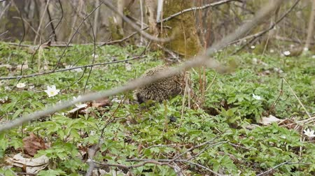 europaeus : Awakening from hibernation. Wild hedgehog wandering through spring woods in search for insects first