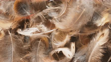 fuzz : Something big with scary roll in soft light feathers. Close-up Stock Footage