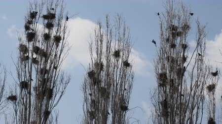 lombardy poplar : Spring in Turkey. Colony of rooks (Corvus frugilegus), rookery on narrow upright trees, spiry trees (pyramidal poplars - Lombardy poplar) Stock Footage