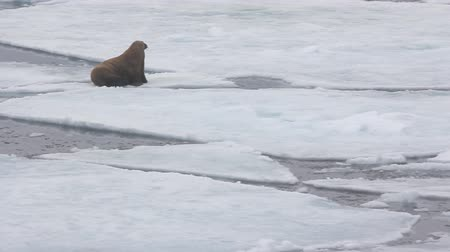 migrants : Young walrus (yearling, tusk 10 cm) rests on ice floe Stock Footage