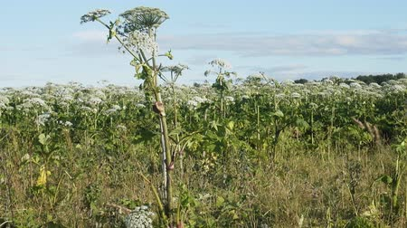 virgin forest : jungle of grass height of 3 meters. Sosnowskis Hogweed (cow parsnip Heracleum) is introduced species (invasive plant) in Europe and real threat to agriculture