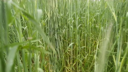 fényesen : Camera moves across field of barley. Tall stems and passages cereals eating wild boars