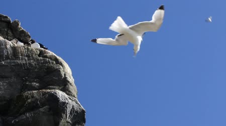 kittiwake : Kittiwakes hangs in flow of rising air. Skill of maneuvering and steady flight,  birds in flight. birds voices