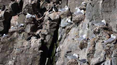 kittiwake : One of northernmost colonies of sea birds on Franz Josef Land near North Pole. Plot rookery with nests of Kittiwakes, birds voices