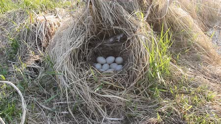 duplication : Guide to bird nests. Mallards (Anas platyrhynchus) nest in dense old grass with tent and lots of white eggs. Mallard nests early, young grass only breaks Stock Footage