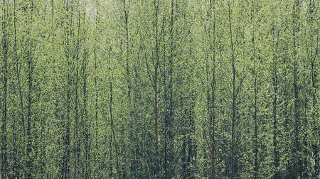 расширение : Pleasing man spring. Young bright green leaves blossomed on trees, leaf flushing, foliage expansion. Green wall of birch forest, verdure; greenth Стоковые видеозаписи