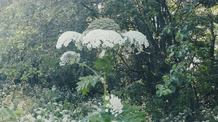 otsu : Umbrella herbaceous plants. Giant Hogweed Sosnowski (Heracleum sosnowskyi) height of 4 meters on  edge of forest Stok Video