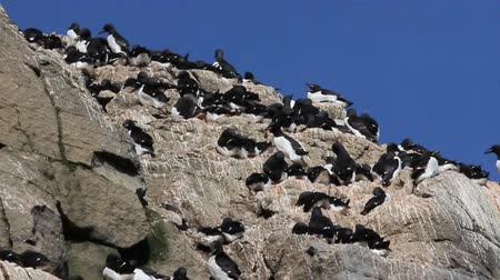 arctic tundra : Seabird colony, daily life of thick-billed murres on ledges of rocks, rookery in high latitudes of Arctic basin Stock Footage