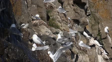 kittiwake : One of northernmost colonies of sea birds on Franz Josef Land near North Pole. Plot rookery, nests of Kittiwakes under waterfall