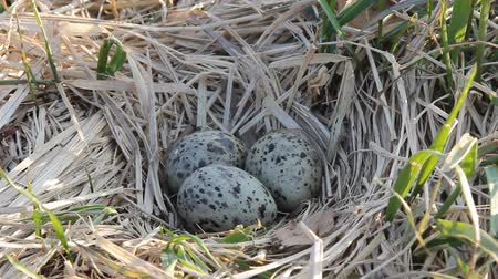 tern : Nest guide. Common terns nest made of dry sedge on meadow island. Three speckled eggs. Close up Stock Footage