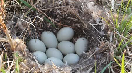 duplication : Nest guide. Mallards nest (wild population) among dry sedge with black fluff and 8 white eggs. Close-up Stock Footage