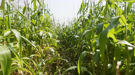 kırsal ekonomi : Corn plantation in Eastern Europe. Bushes of corn in period milky-wax ripeness. Mens tall panicles on tops of shoots - monoecious plants