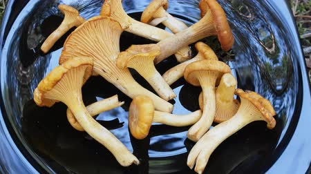 mycology : Chanterelle mushrooms long storage fresh and great taste. Mushrooms for eating laid out on black-lacquer dish, mycology, boreal forest
