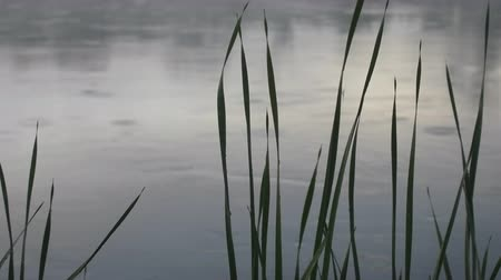 creeping : Warm summer rain on river, light fog over water. August evening. Video via meadow vegetation, contour