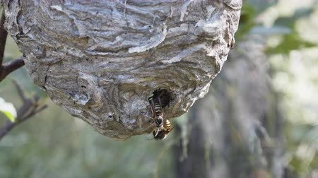darázs : Round nest of paper wasp (Vespula) on branch. Infertile female feed larvae, lower part of nest and entrance, closeup