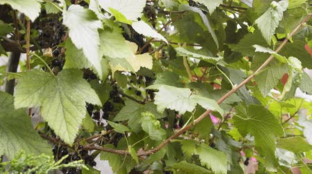 смородина : Black currants Ribes nigrum ripened in depths of Bush