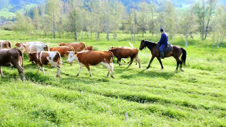 milking : Russia, Altai Republic - July 18, 2016: fat herd of cows in a mountainous area is on green grass. cattle from  dairy region Stock Footage