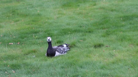 meada : Barnacle goose resting on city lawn. Sitting goose