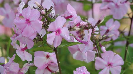 william : Floriculture. Inflorescence of roseate Phlox, Polemoniaceae in raindrops, herbaceous plants, bunch of flowers