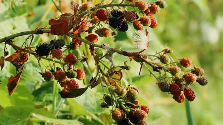 escarlate : Branch of Black Berry. Berries blackberries ripen gradually, maturing red and black ripe Stock Footage
