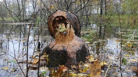 bionomics : Old Park, centennial Park in autumn. Beavers gnaw old trees (aspen) and flood forest. Malicious for forestry activities of beavers, but man is changing animal habitats as well, animal ecology